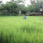Ducks in rice farming (spot the ducks!)
