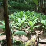 Home garden crops
